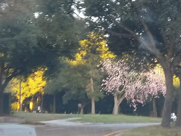 The only tree with pink flowering  adorned by the evening sunlight! thumbnail