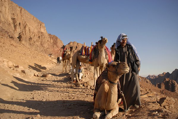 Bedouins and camels followed by tourists on the Sinai thumbnail