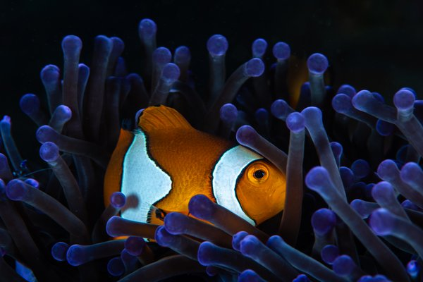 Clownfish in its anemone thumbnail