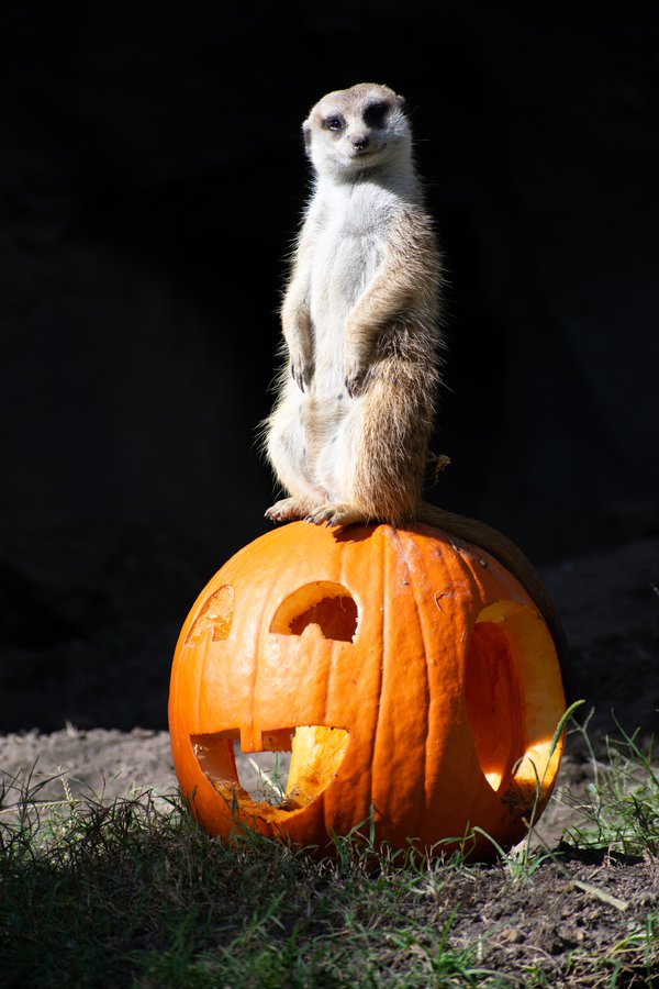 Happy Halloween from a Meerkat thumbnail