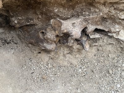 The first bones that the workers uncovered were buried between four and five feet underground, under ancient, compressed vegetation, per KTNV.