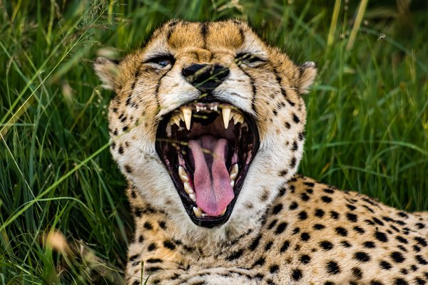 A yawning cheetah in the Masaai Mara thumbnail