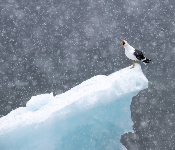 Kelp gull in the snow. thumbnail