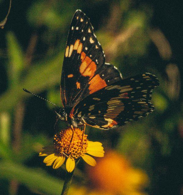 Butterfly on daisy thumbnail