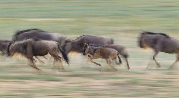 Wildebeest herd running. thumbnail