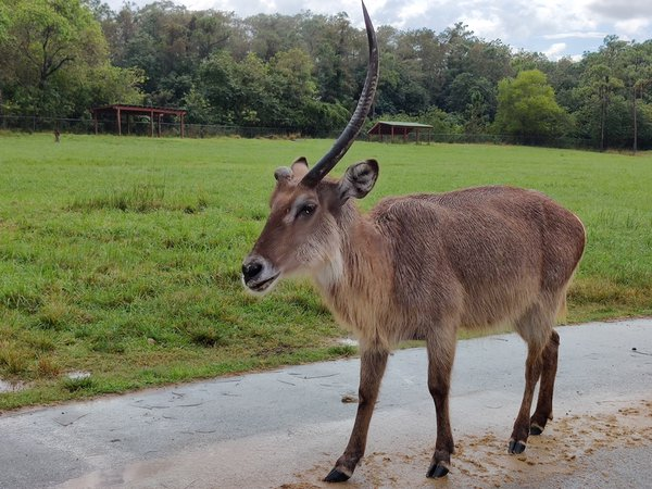 One horn antelope at safari thumbnail
