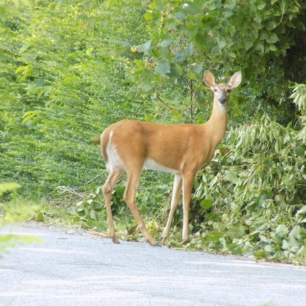 Dear deer thumbnail