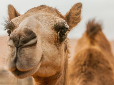 Camels stay cool through a combination of sweat and insulating fur.