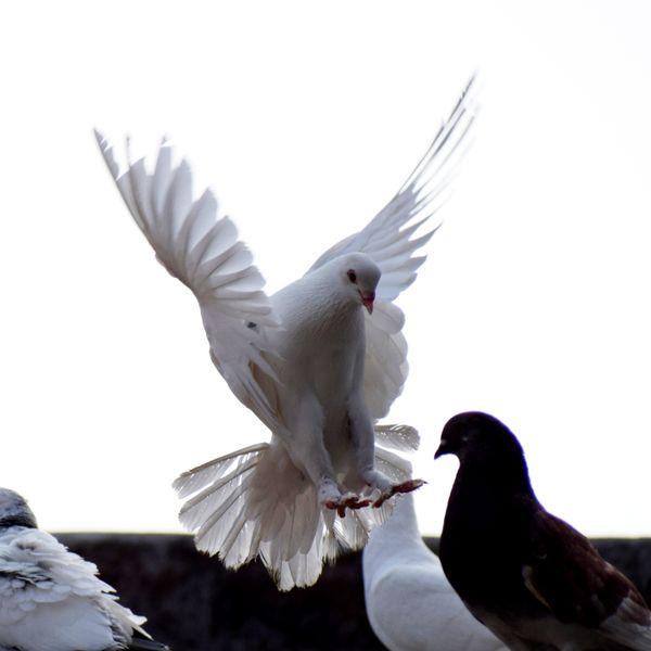 White pigeon thumbnail