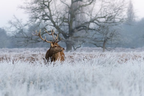 Red Stag in Bushy Park on a frosty morning thumbnail