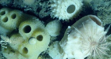 A community of glass sponges under Antarctica's ice.