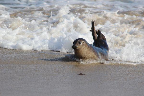 Seal in La Jolla thumbnail