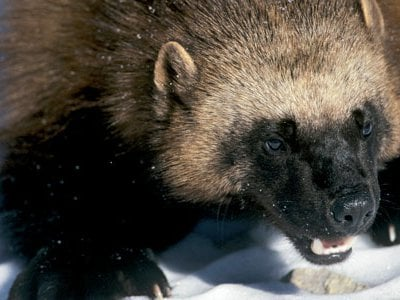 Considered a mere scavenger that robbed traps and ransacked cabins, the wolverine has recently earned respect and scientific attention.