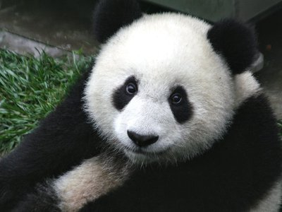 Over the next 80 years, one-third of panda territory will become too hot to support bamboo growth
