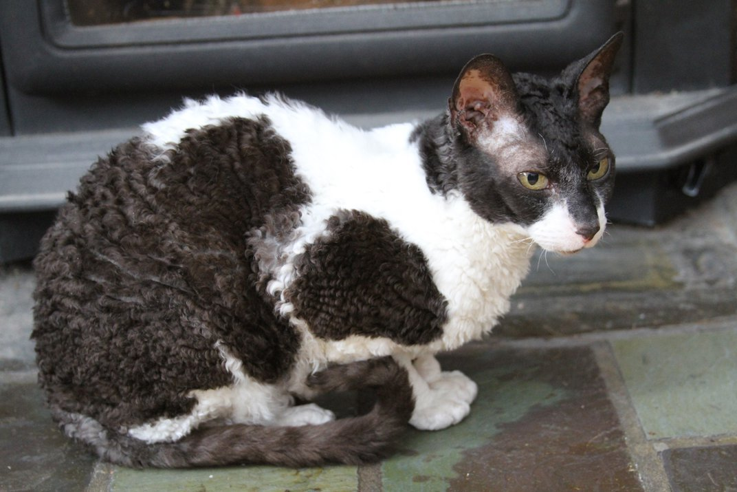 There's No Such Thing as a Hypoallergenic Cat