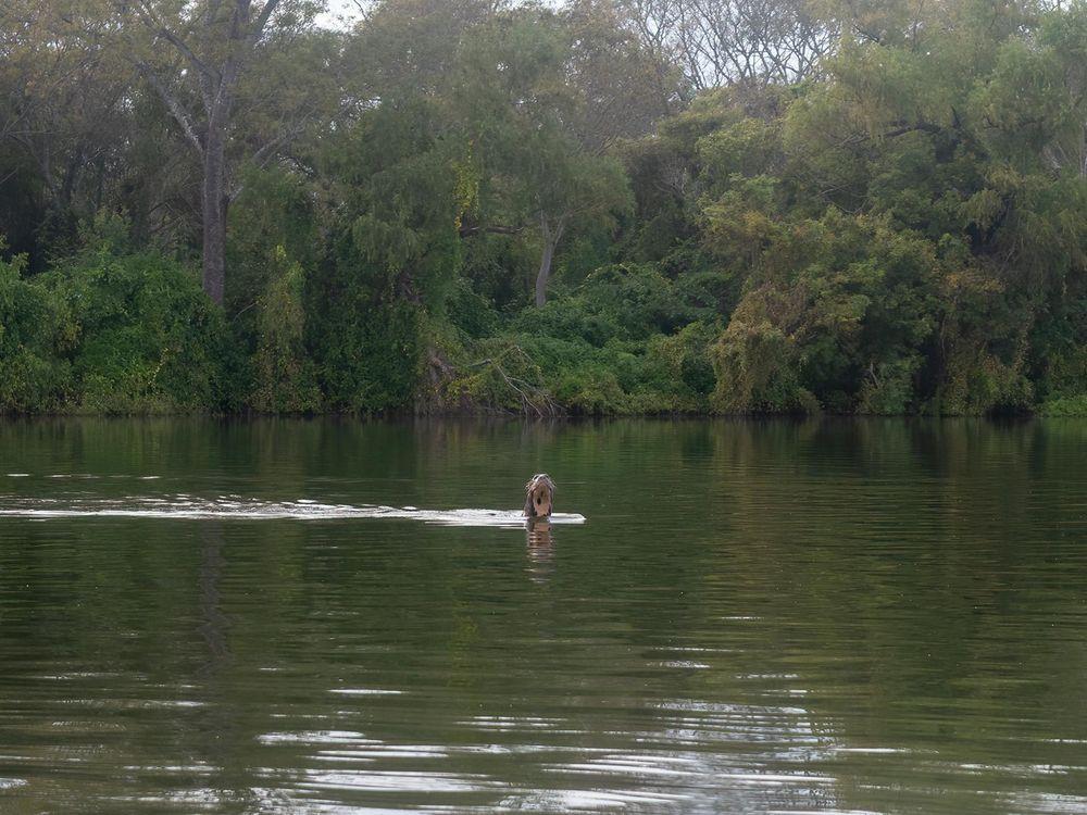 wild giant otter