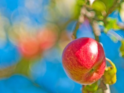 Did a falling apple really influence Newtonian physics?