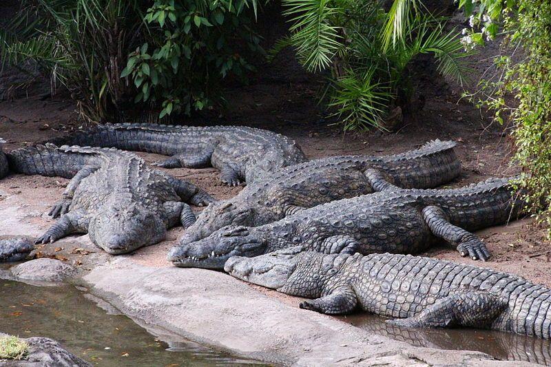 800px-Disney-Animal-Kingdom-Crocodiles-7948.jpg