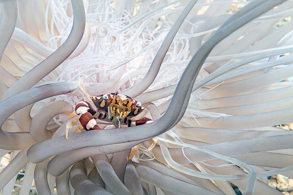 Harlequin swimming crab in his anemone thumbnail