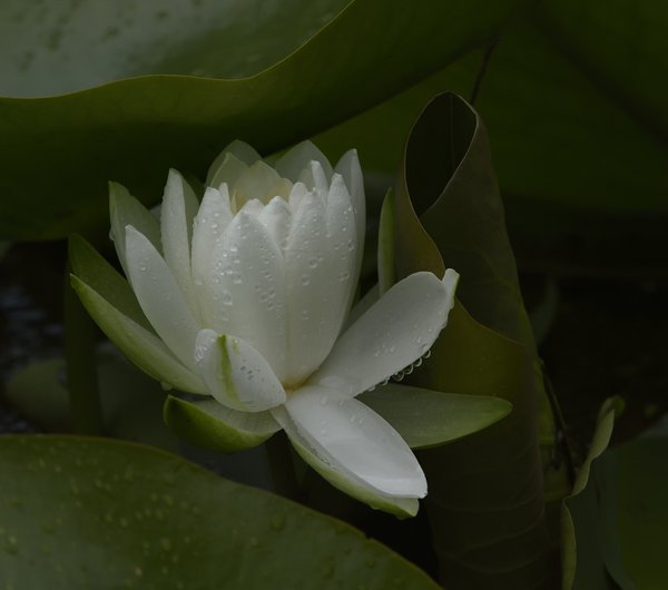Waterlily in the rain thumbnail