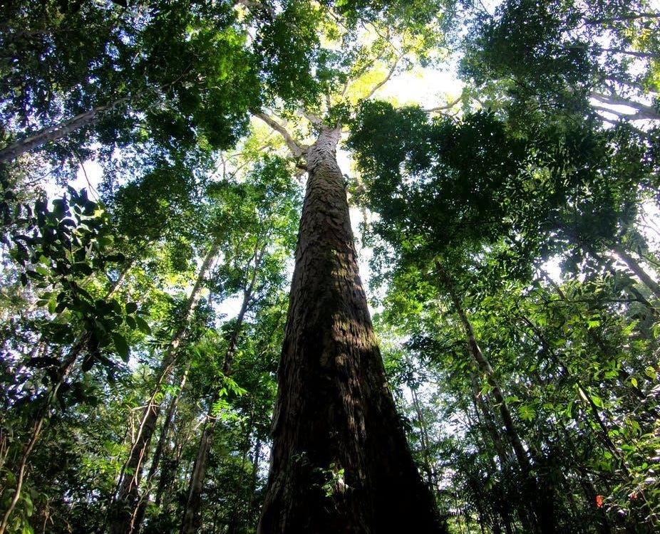 Angelim Vermelho Tree