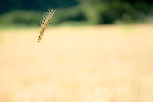 Wheat field thumbnail
