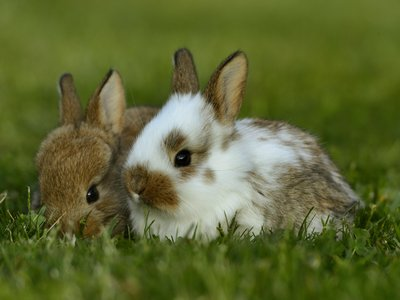 It turns out the story of the domesticated bunny is a lot fuzzier than the legends tell it.