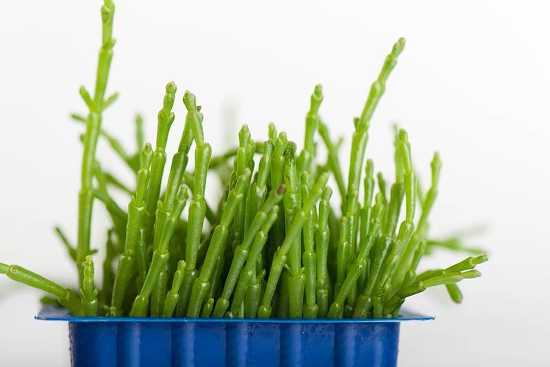 salicornia-main.jpg