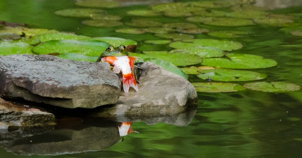 Bullfrog eats goldfish thumbnail