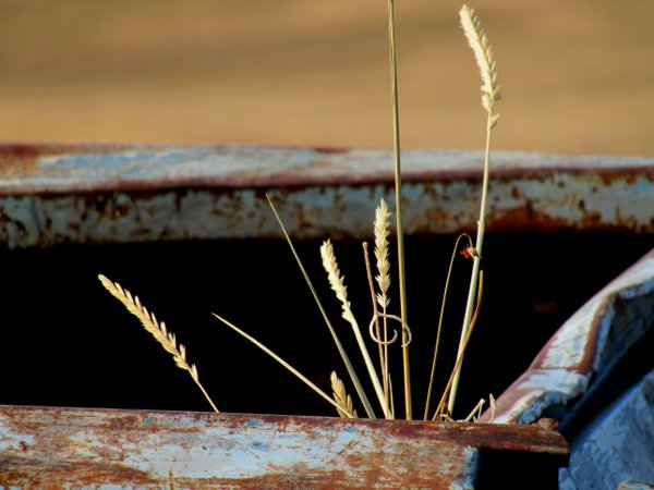 Stalks of wheat peeking out from the back of a rusty light blue dumpster. thumbnail