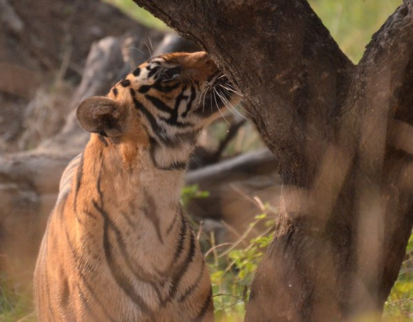 Young tigress searches for a familiar scent thumbnail