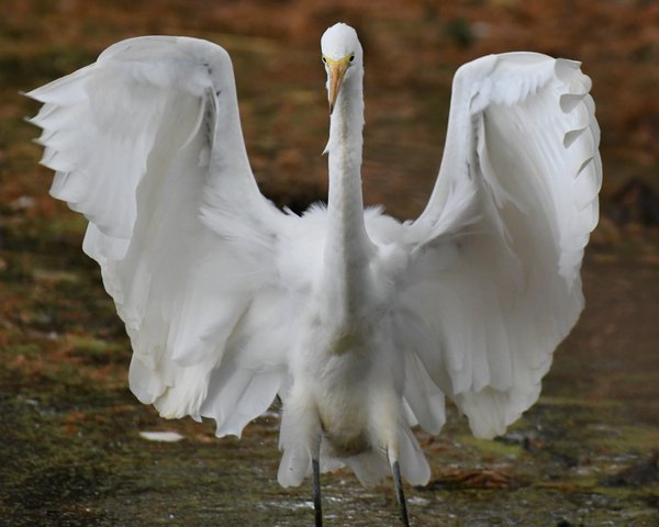 Arrival: great egret thumbnail