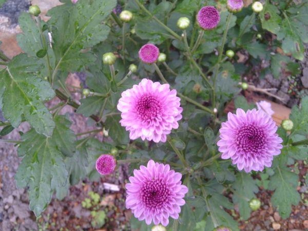 Morning dew pink thumbnail