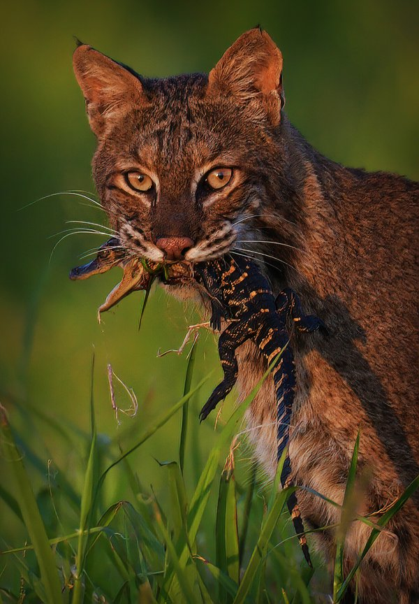 """Predator Becomes Prey"" Florida Bobcat - Alligator thumbnail"