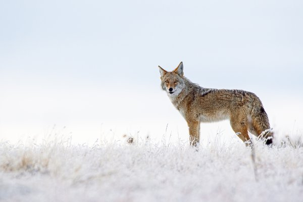 Coyote in the snow thumbnail