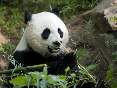 Since late July, Mei Xiang has been sleeping more, eating less, nest-building and body-licking—all signs that she is preparing for a newborn.