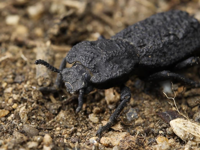 A diabolical ironclad beetle can withstand the crushing force of 39,000 times its own body weight.