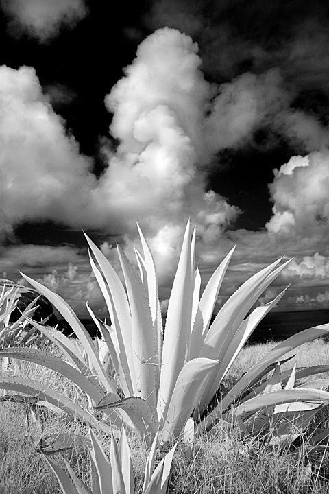 Cacti, Easter Island thumbnail