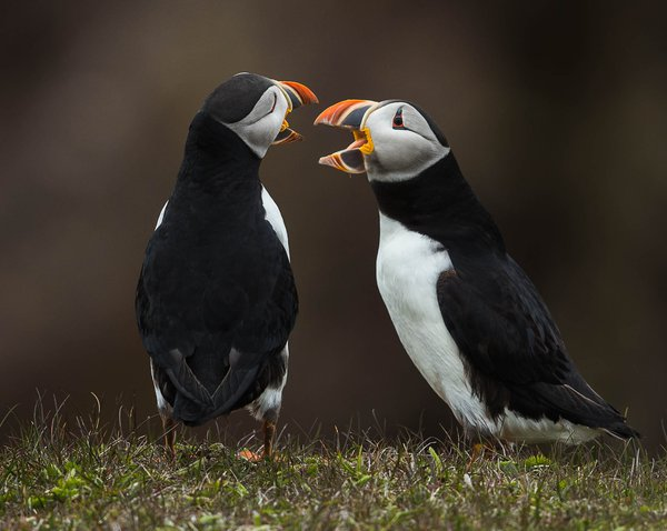 Puffin Discussion thumbnail