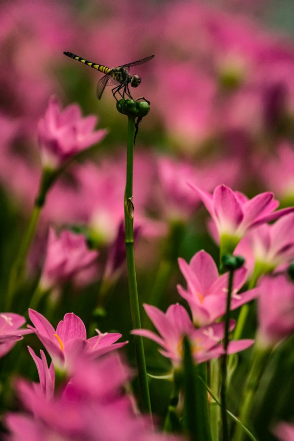A dragonfly resting on a rain lily. thumbnail