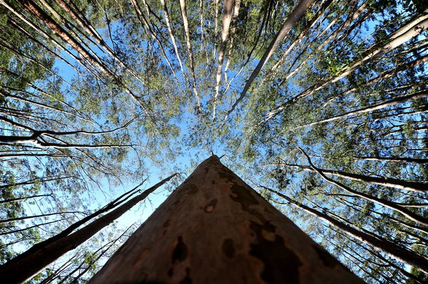 Eucalyptus tree touch the sky thumbnail