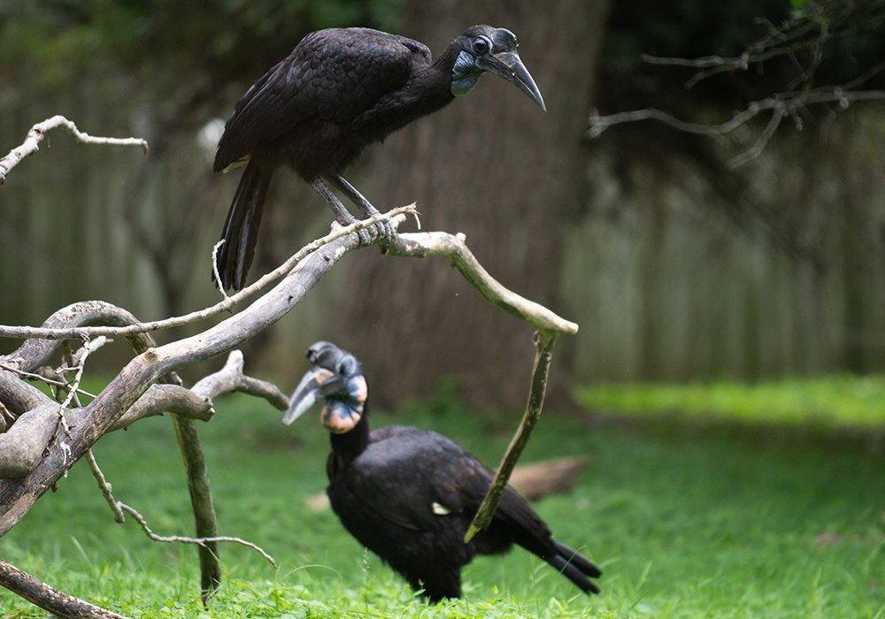 It's easy to spot the difference between Karl and Karoline (even without Karl's beak). Karoline is smaller and has a blue and black throat sack. Like other male Abyssinian ground hornbills, Karl has a red and blue throat sack.