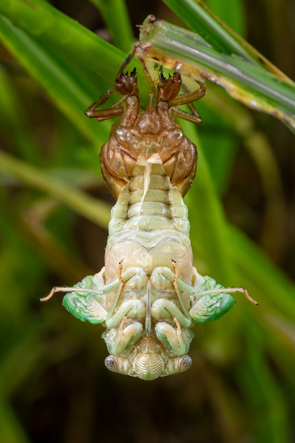 Cicada Transforming thumbnail
