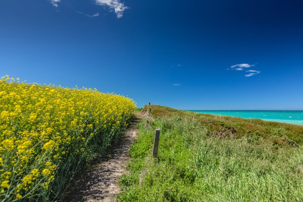 Rapeseed and the Sea thumbnail