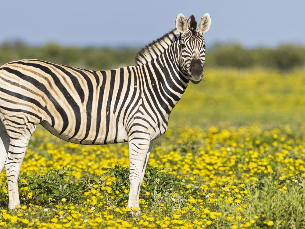 A zebra in a field of yellow flowers in Namibia