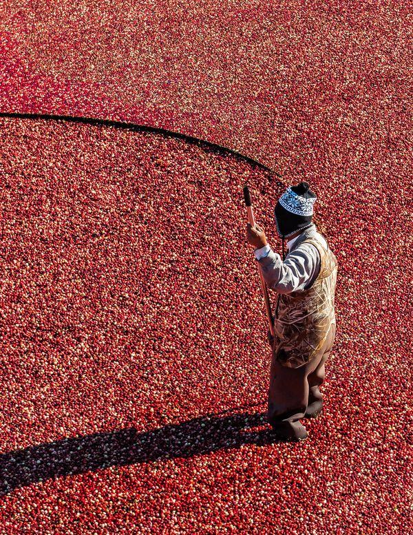 Corralling Cranberries thumbnail
