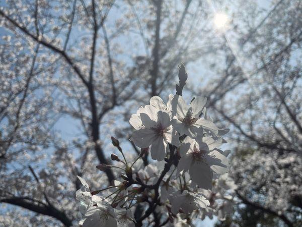Fleur de Cerisier thumbnail