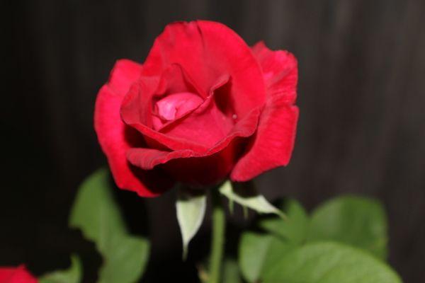 Rose in Bloom thumbnail