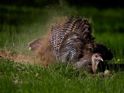 Regular dust bathing keeps the wild turkey's iridescent feathers in top condition.