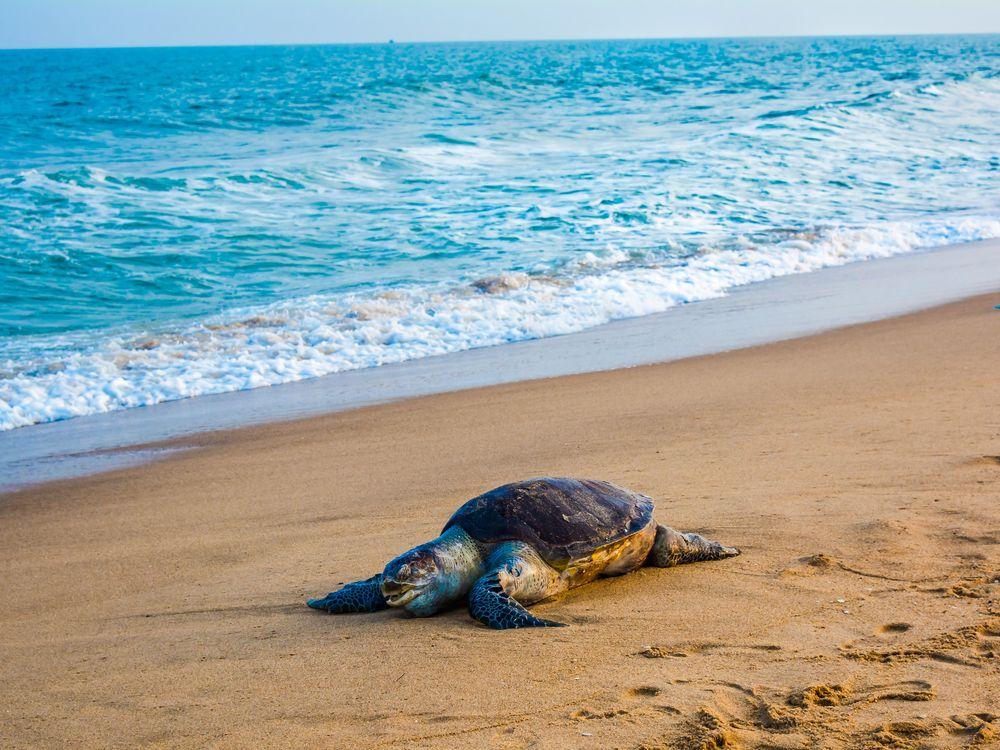 Olive_ridley_sea_turtle_(1).jpg